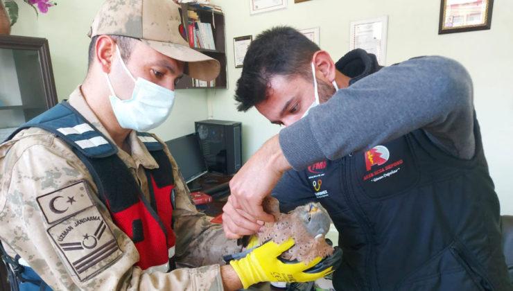Adıyaman'da yaralı yavru şahine Jandarma koruması