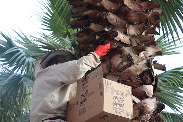 arilar kentin en islek yerlerinden birindeki agaca ogul verdi 6284 dhaphoto1 - Arılar, kentin en işlek yerlerinden birindeki ağaca oğul verdi