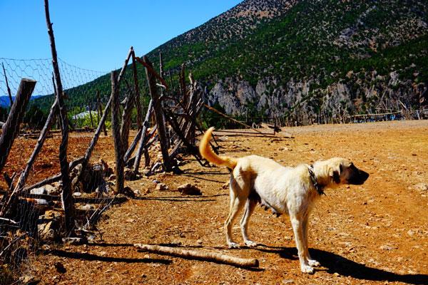 coban kopegi 2 - Meryem Altundağ'ı Can Dostu Köpeği Buldu