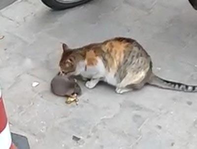 fare kedinin onundeki peyniri kapti 9119 dhaphoto2 - Fare, kedinin önündeki peyniri kaptı