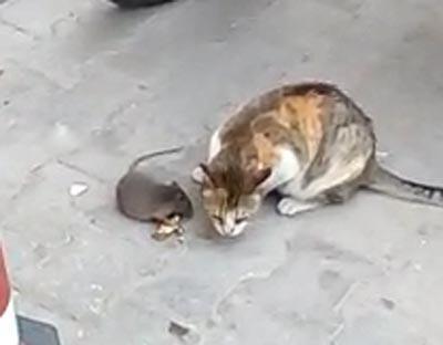 fare kedinin onundeki peyniri kapti 9119 dhaphoto3 - Fare, kedinin önündeki peyniri kaptı