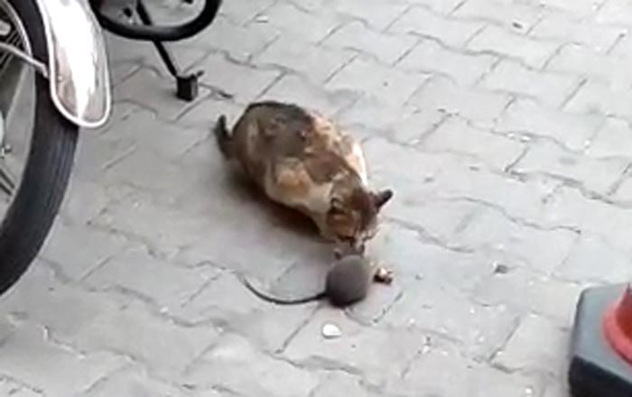 fare kedinin onundeki peyniri kapti 9119 dhaphoto4 - Fare, kedinin önündeki peyniri kaptı