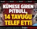 Pitbull, girdiği kümeste 14 tavuğu telef etti